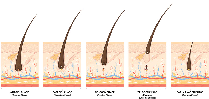 ciclo-di-vita-capelli